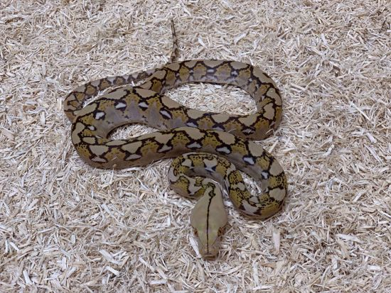 Picture of Mochino Reticulated Python
